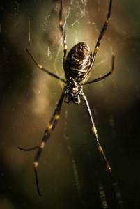 yellow-legged-spider