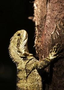 hanging-lizard