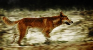 run-dingo-run