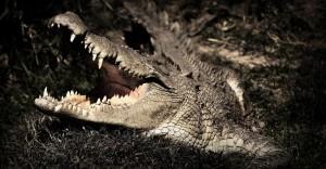 angry-croc