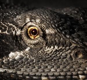 lizard-eye
