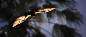 flying-flying-fox